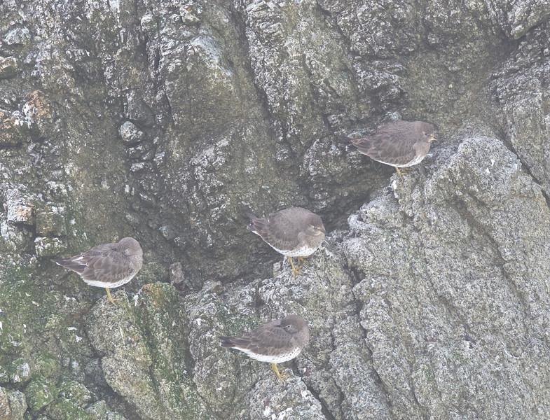 Surfbirds on the rocks, Bodega Bay, Sonoma County, 2-16-2013