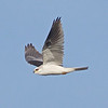 White-tailed Kite, Bodega Bay, Sonoma County, 2-16-2013