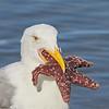 Western Gull with Starfish