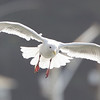 Glaucous-winged Gull, Bodega Bay, Sonoma County, 2-16-2013