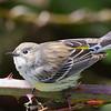 Myrtle's Yellow-rumped Warbler