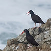 Black Oystercatcher, Bodega Bay, Sonoma County, 2-16-2013