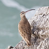 Whimbrel on the Rocks at Bodega Head, Bodega Bay, Sonoma County, 2-16-2013
