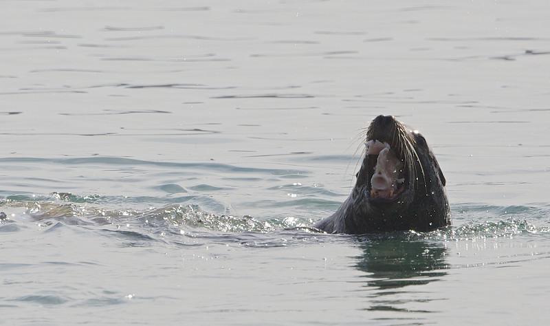 "Sea Lion with ""Chum"", Bodega Bay, Sonoma County, 2-16-2013"