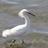 Snowy Egret, Bodega Bay, Sonoma County, 2-16-2013