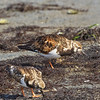 Ruddy Turnstone, Bodega Bay, Sonoma County, 2-16-2013