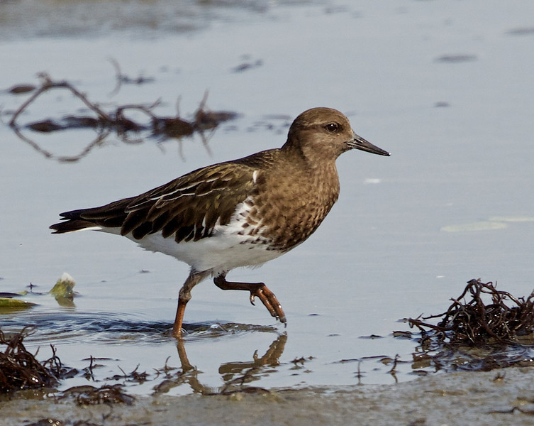 Black Turnstone, Bodega Bay, Sonoma County, 2-16-2013