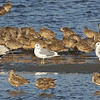 Mew Gulls, Marbled Godwits, and a Willet, Bodega Bay, Sonoma County, 2-16-2013