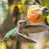 Anna's Hummingbird, Diekmann's Store, Bodega Bay, 2-16-2013