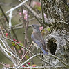 Female Western Bluebird Checking Out Tree Hole