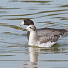 Sabine's Gull (Juvenile) with American Coot