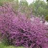 Beautiful Blooming Redbud