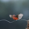 Vermilion Flycatcher