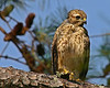 Young Red-shouldered Hawk.