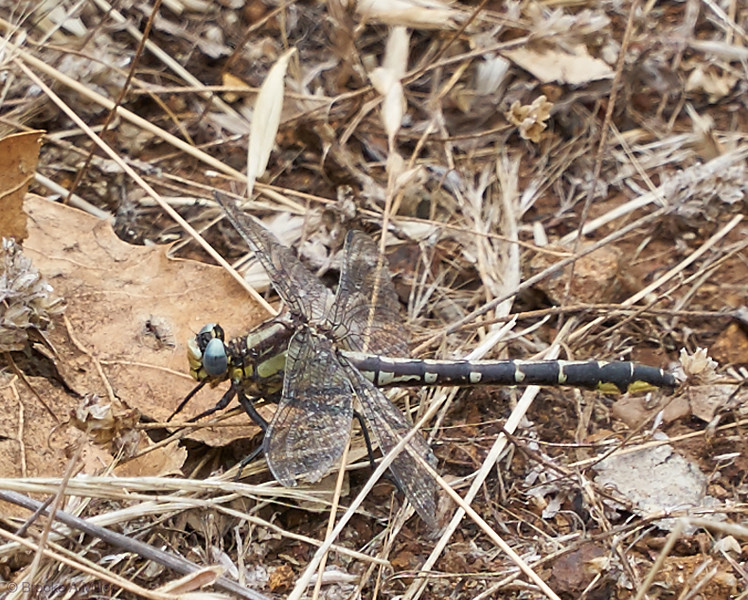 Pacific Clubtail