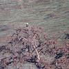 Bald Eagle across Paicines Reservoir