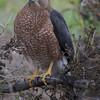Cooper's Hawk at Shoreline Lake