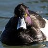 Tufted Duck, Lake Merritt, Oakland, Alameda County, CA, USA, 2008-01-10