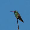 Broad-billed Hummingbird at Florida Wash