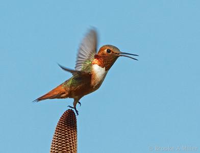 2013-04-10 UCSC Arboretum Hummingbirds