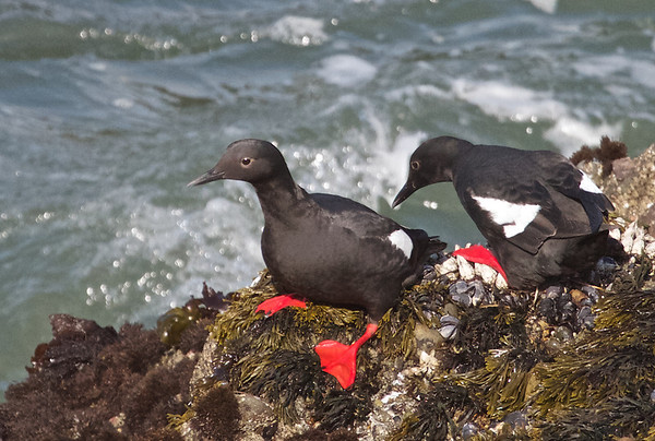 2013-05-17 San Mateo County:  Pigeon Pt., Gazos Crk Rd., Pilarcitos Crk Mouth