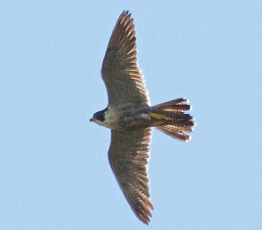 Peregrine Falcon, Gazos Creek Road, 17-May-2013