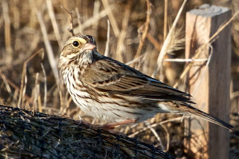 Savannah Sparrow, Hayward Regional Shoreline, Alameda County, 19-Oct-2013