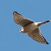 American Kestrel Overhead, Coyote Hills Regional Park, Alameda County, 19-Oct-2013