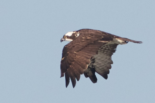 Osprey, Hayward Regional Shoreline, Alameda County, 19-Oct-2013
