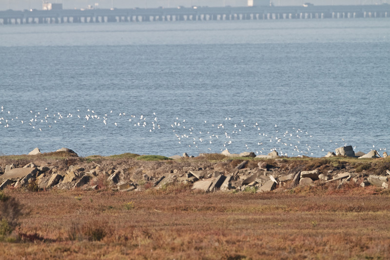Waves of Shorebirds, Hayward Regional Shoreline, Alameda County, 19-Oct-2013