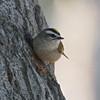 Golden-crowned Kinglet, Coyote Hills Regional Park, Alameda County, 19-Oct-2013