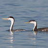 Clark's and Western Grebe, Hayward Regional Shoreline, Alameda County, 19-Oct-2013