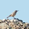 Rock Wren, Coyote Hills Regional Park, Alameda County, 19-Oct-2013