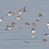 On the Wing - Dunlin and Western Sandpipers, Hayward Regional Shoreline, Alameda County, 19-Oct-2013