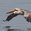 Brown Pelican, Hayward Regional Shoreline, Alameda County, 19-Oct-2013