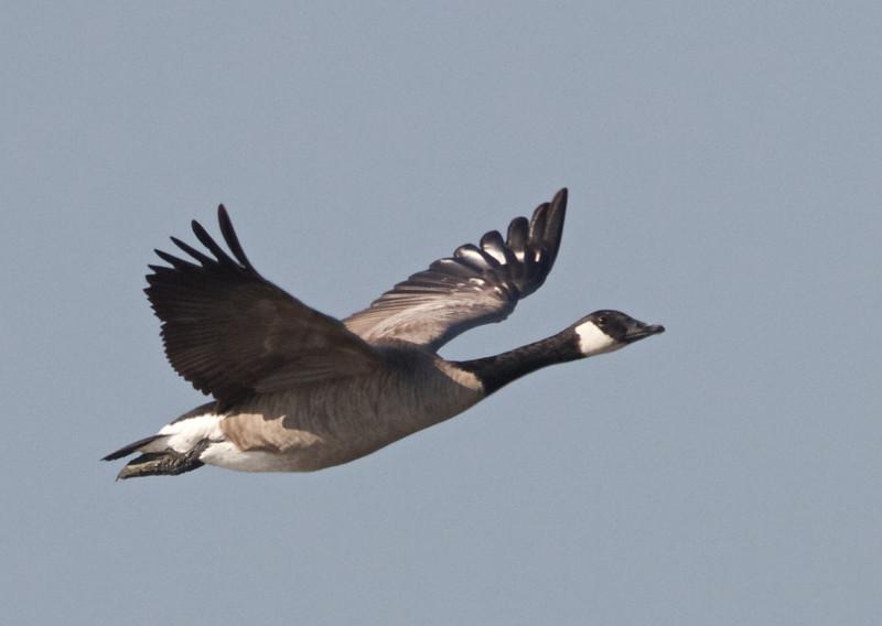 Canada Goose, Hayward Regional Shoreline, Alameda County, 19-Oct-2013