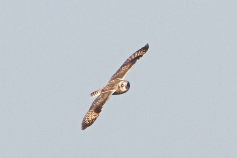 Short-eared Owl, Hayward Regional Shoreline, Alameda County, 19-Oct-2013