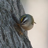Golden-crowned Kinglet, Coyote Hills Regional Park, Alameda County, 19-Oct-2013