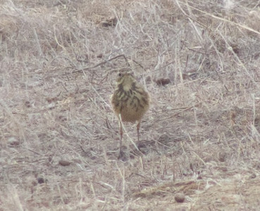 American Pipit - possible japonicus subspecies, Sunnyvale WPCP, Santa Clara County, 21-Oct-2013