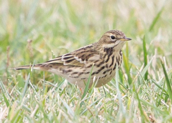 Red-throated Pipit #1 right side, Arrowhead Marsh, Alameda County, 24-Oct-2013