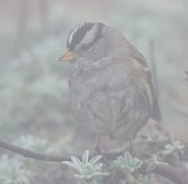 White-crowned Sparrow in the Fog at Lighthouse Residence, Pt Reyes National Seashore, 26-Oct-2013