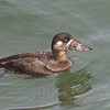 Surf Scoter (female), Fish Docks, Pt Reyes National Seashore, 26-Oct-2013