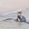 Elephant Seals, Fish Docks, Pt Reyes National Seashore, 26-Oct-2013