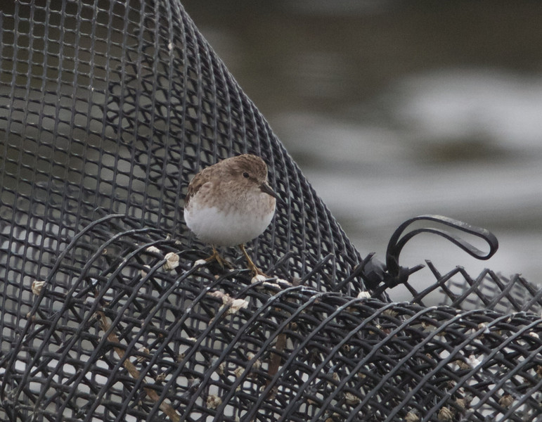 Least Sandpiper, Oyster Farm, Pt Reyes National Seashore, 26-Oct-2013