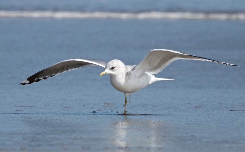 Mew Gull, Drakes's Beach, Pt Reyes National Seashore, 26-Oct-2013