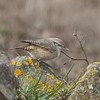 Rock Wren, Road to Fish Docks, Pt Reyes National Seashore, 26-Oct-2013