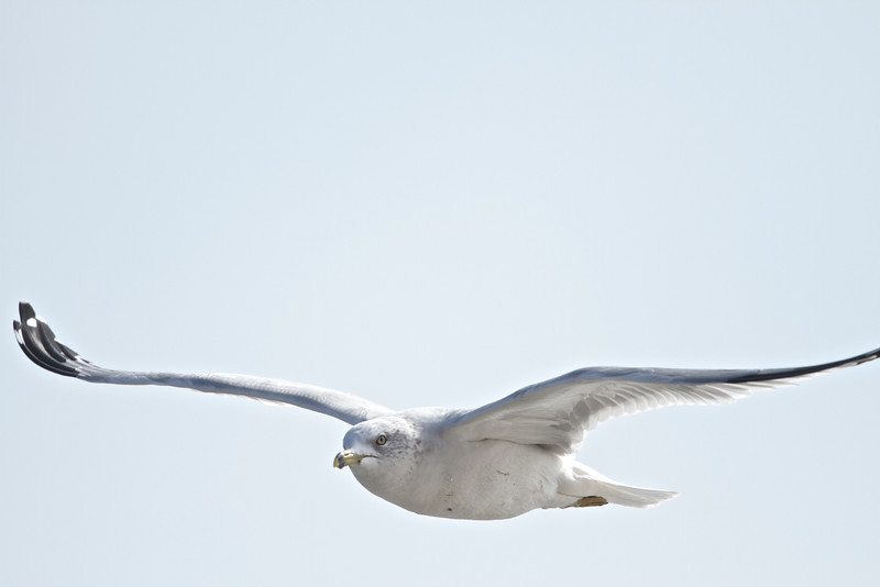 Ring-billed Gull, Drakes's Beach, Pt Reyes National Seashore, 26-Oct-2013