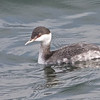 Horned Grebe, Fish Docks, Pt Reyes National Seashore, 26-Oct-2013