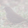 Fox Sparrow in the Fog at Lighthouse Residence, Pt Reyes National Seashore, 26-Oct-2013