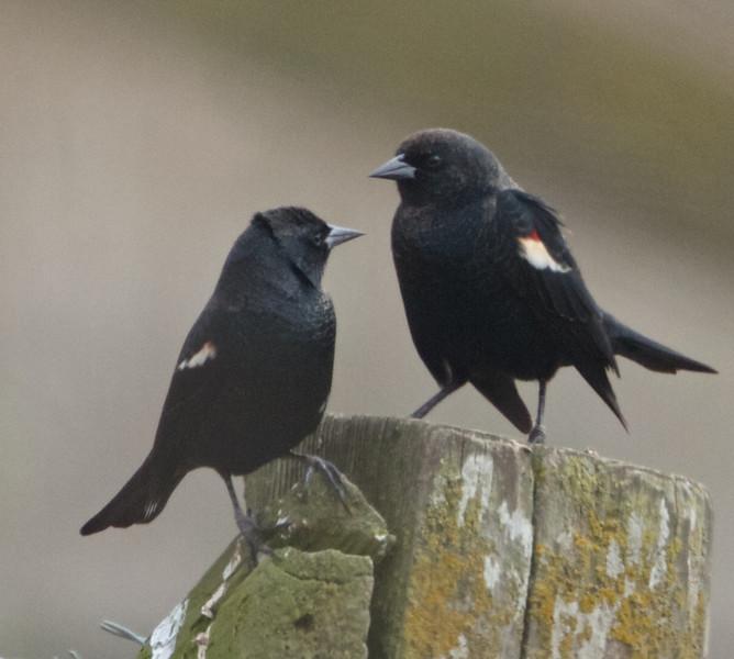 Tricolored Blackbirds, Nunez Ranch (A Ranch), Pt Reyes National Seashore, 26-Oct-2013